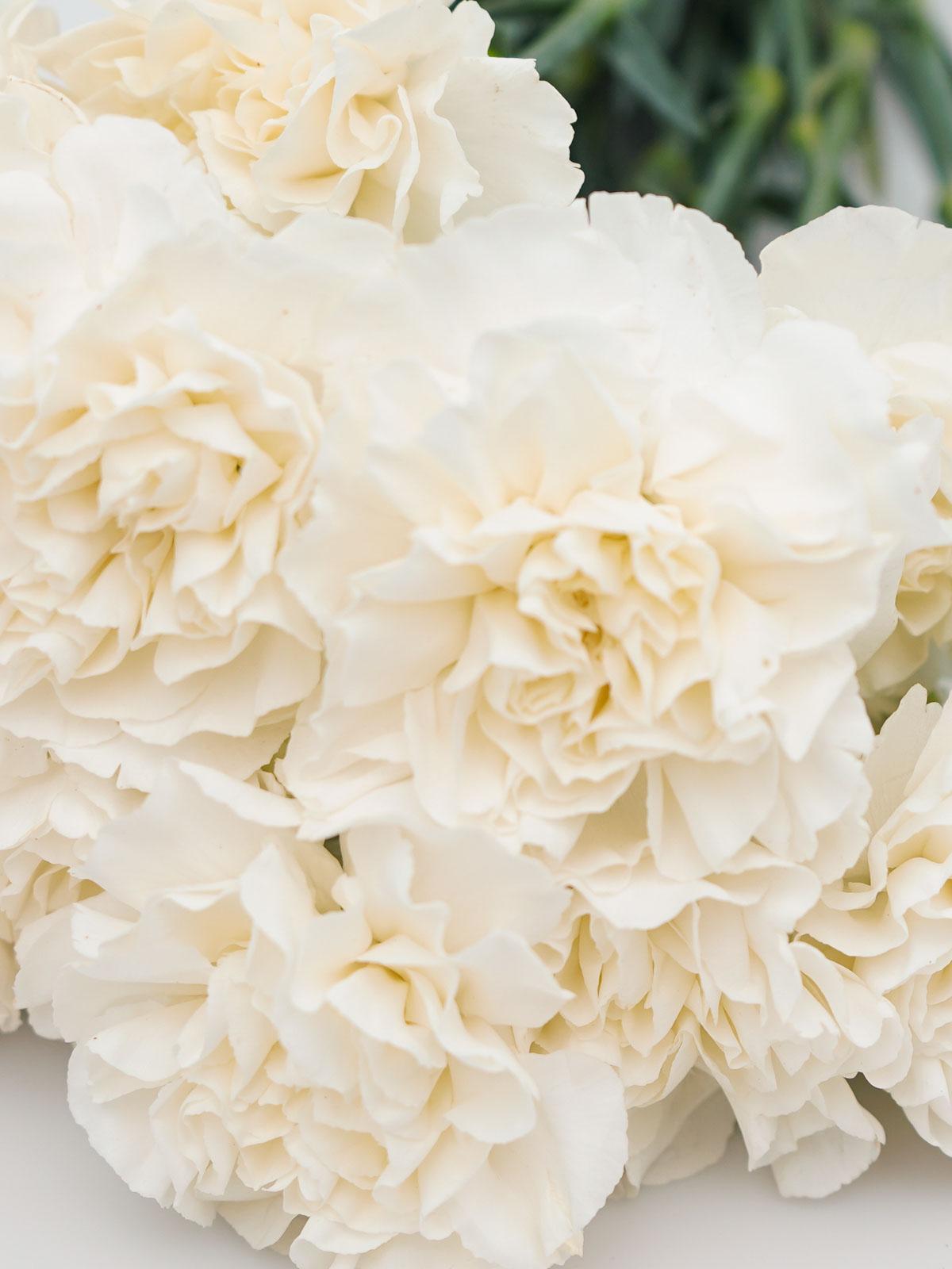 Carnation White 'Wholesale Flowers Cut Flowers