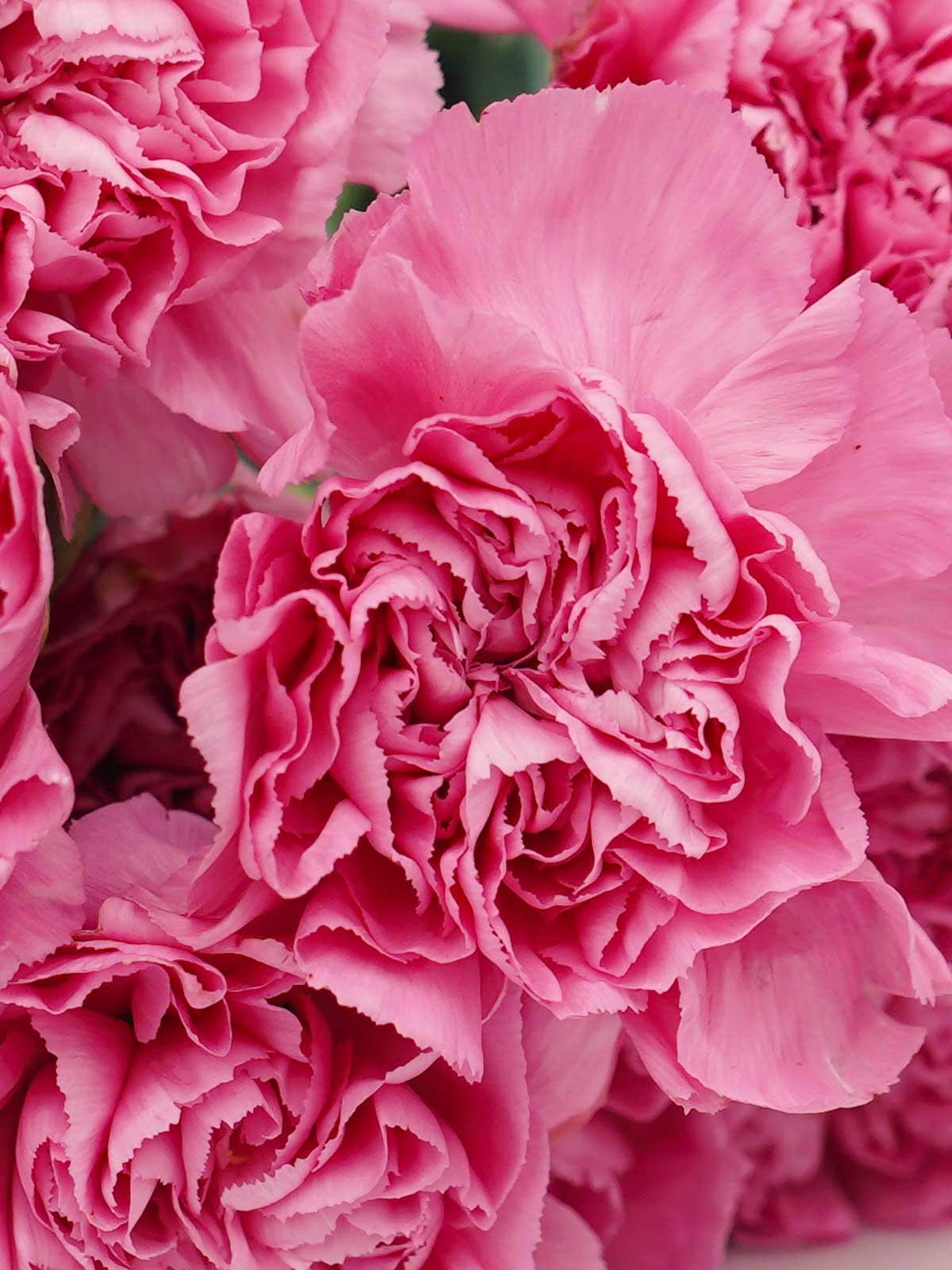 قرنفل وردي  الزهور بالجملة زهور مقطوفة
