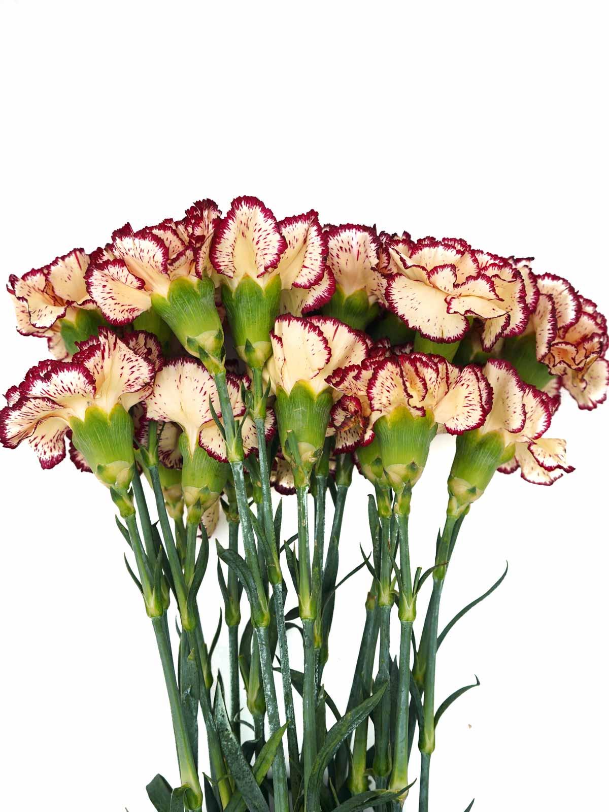قرنفل أحمر مزدوج اللون  الزهور بالجملة زهور مقطوفة