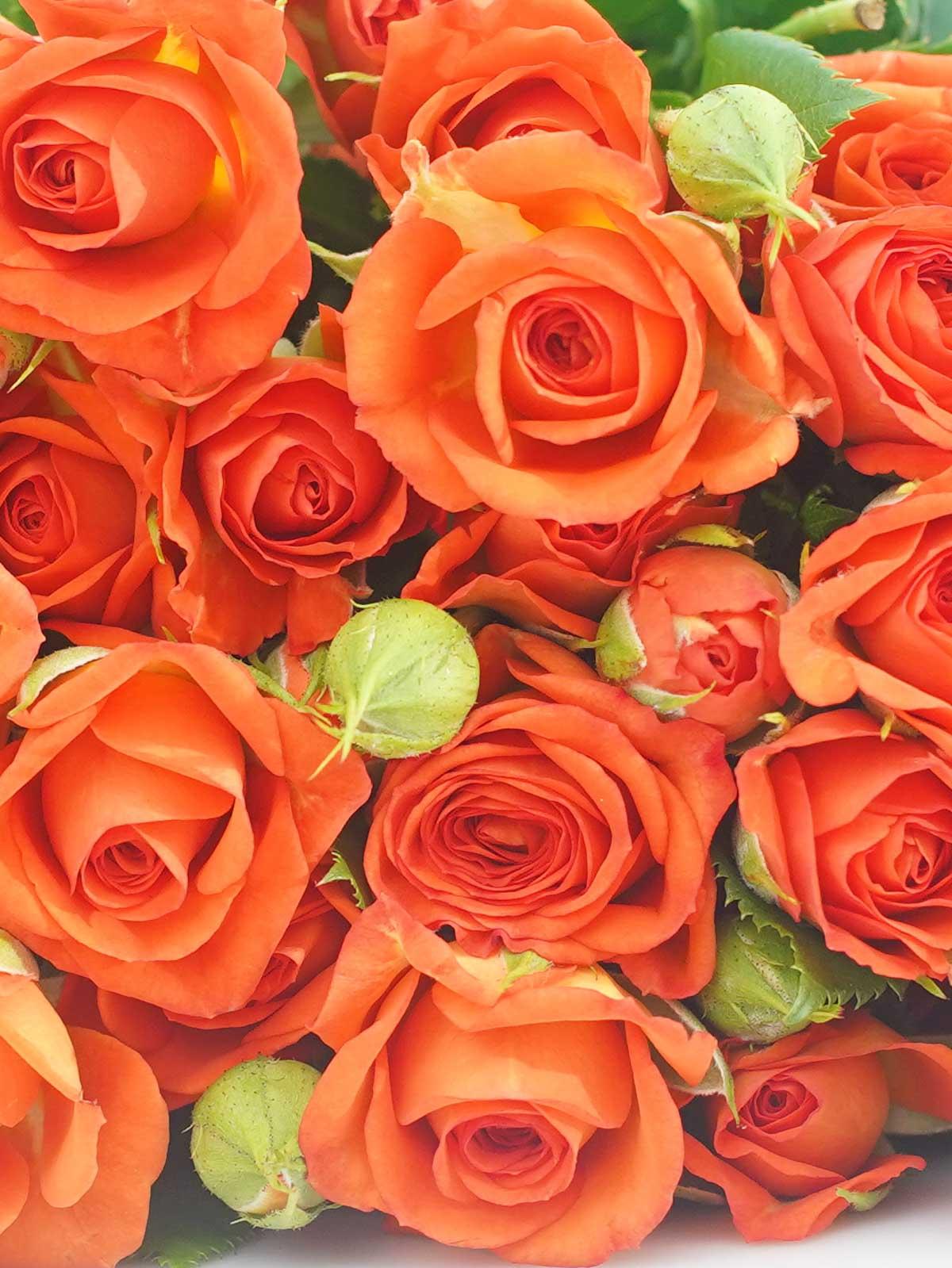بيبي روز برتقالي ' الزهور بالجملة زهور مقطوفة