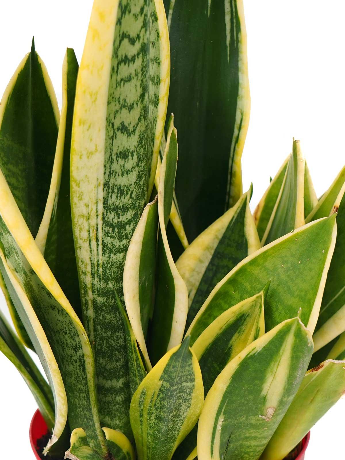سانسيفيريا نباتات داخلية أشجار