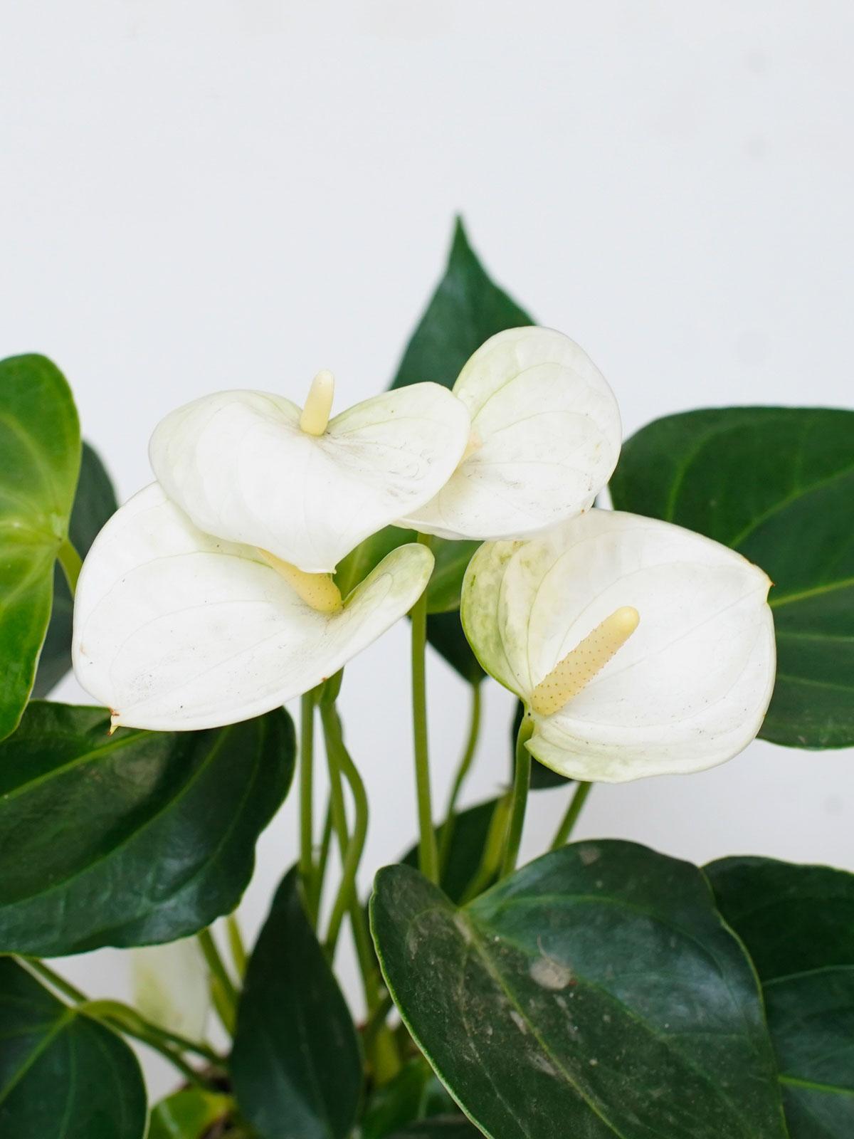 أنثوريوم - أبيض 'نباتات داخلية النباتات المزهرة