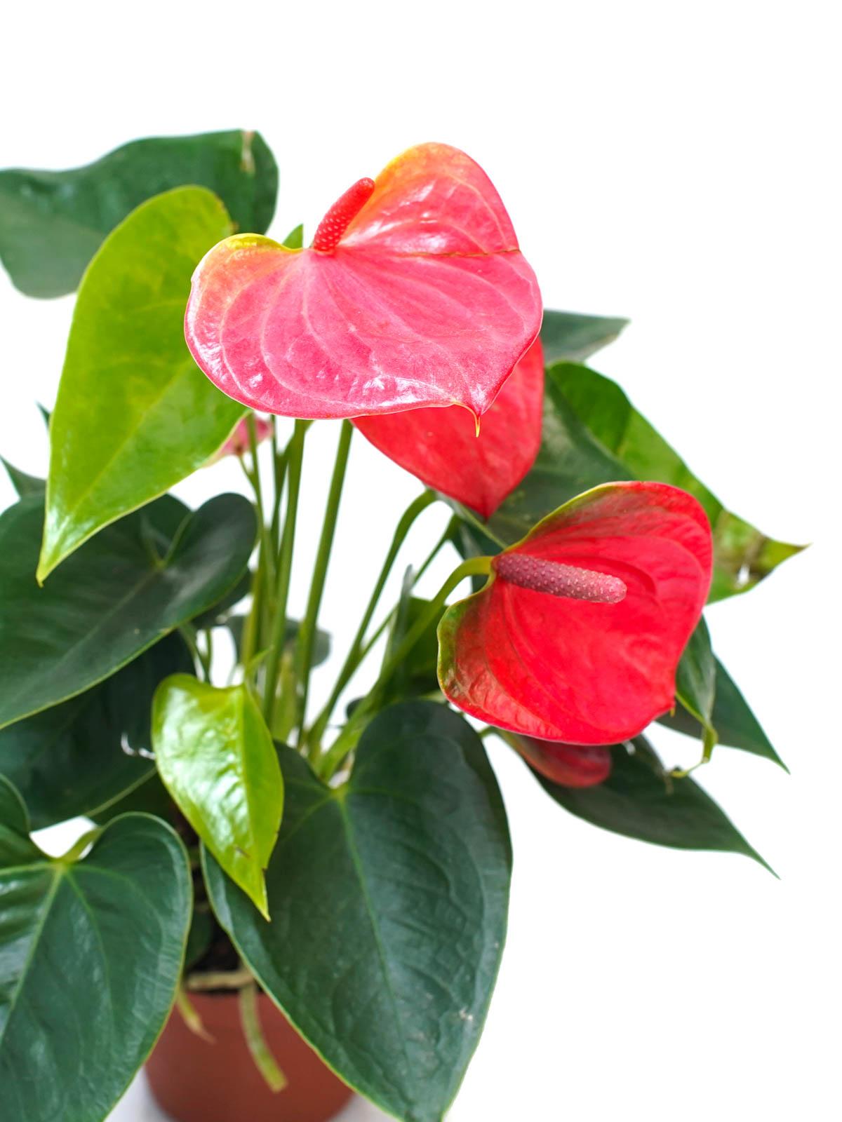 Anthurium Red P12 Indoor Plants Flowering Plants