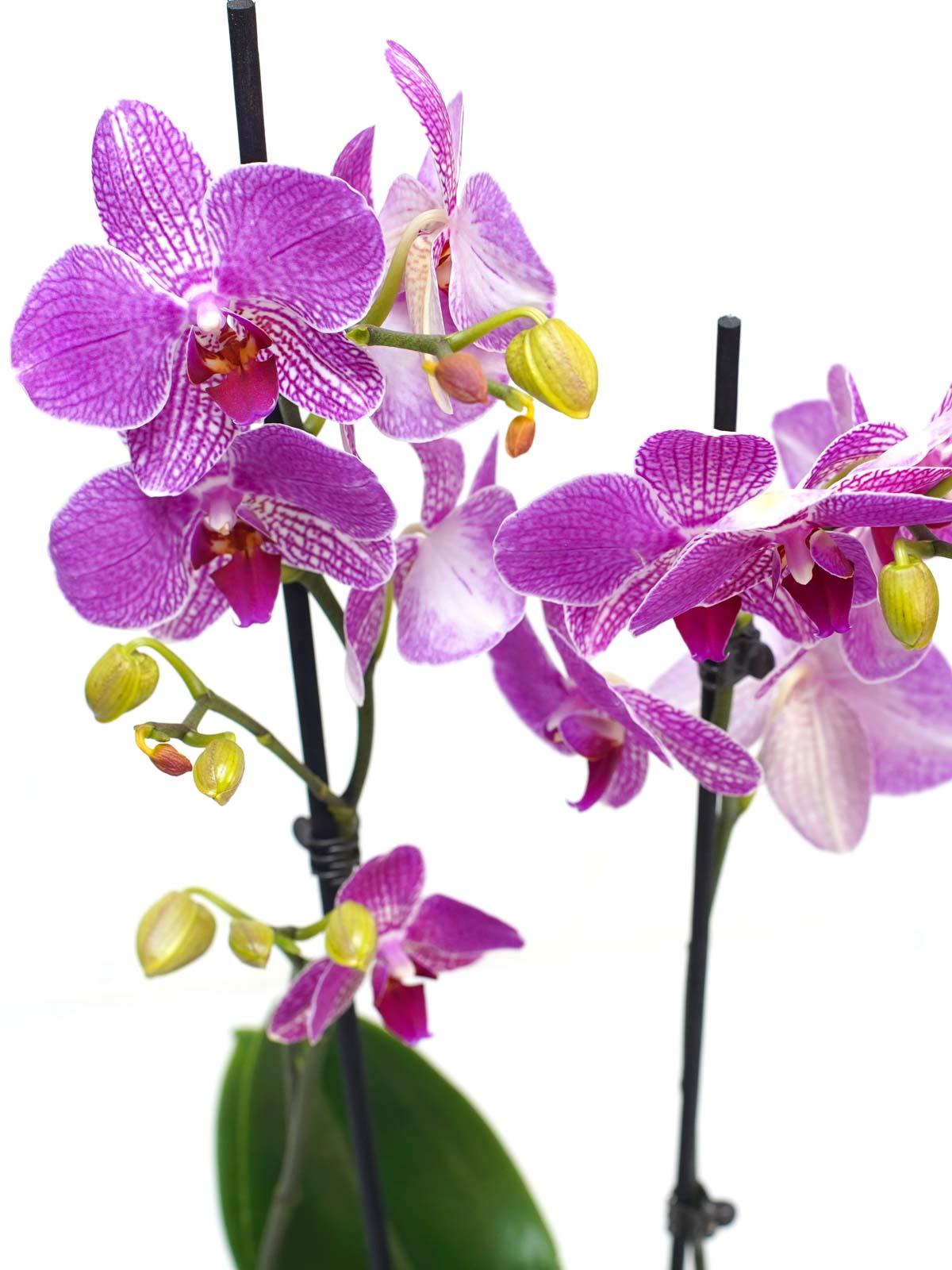 فالاينوبسيس أوركيد (أرجواني) نباتات داخلية النباتات المزهرة