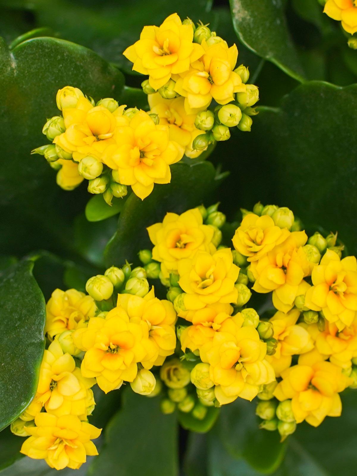 كلنكوة (أصفر) نباتات داخلية النباتات المزهرة