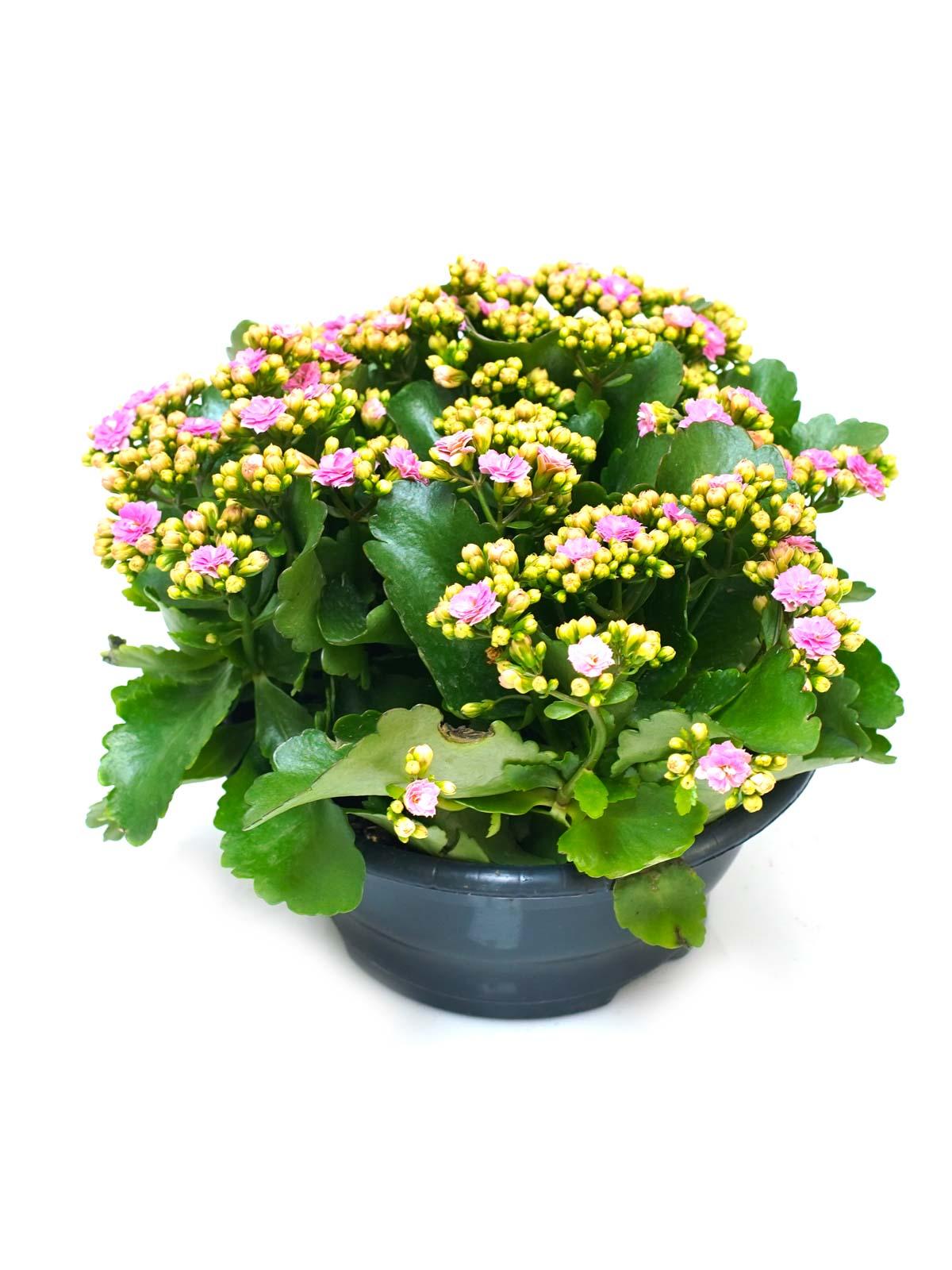 Kalanchoe Calandiva Indoor Plants Flowering Plants