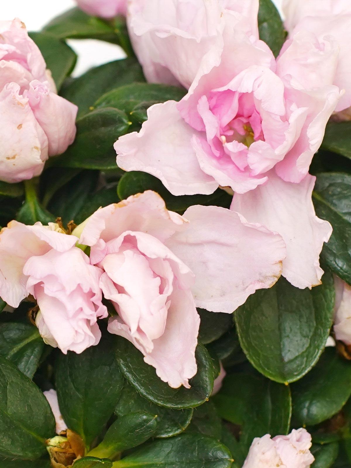 Azalea Lite Pink Indoor Plants Flowering Plants
