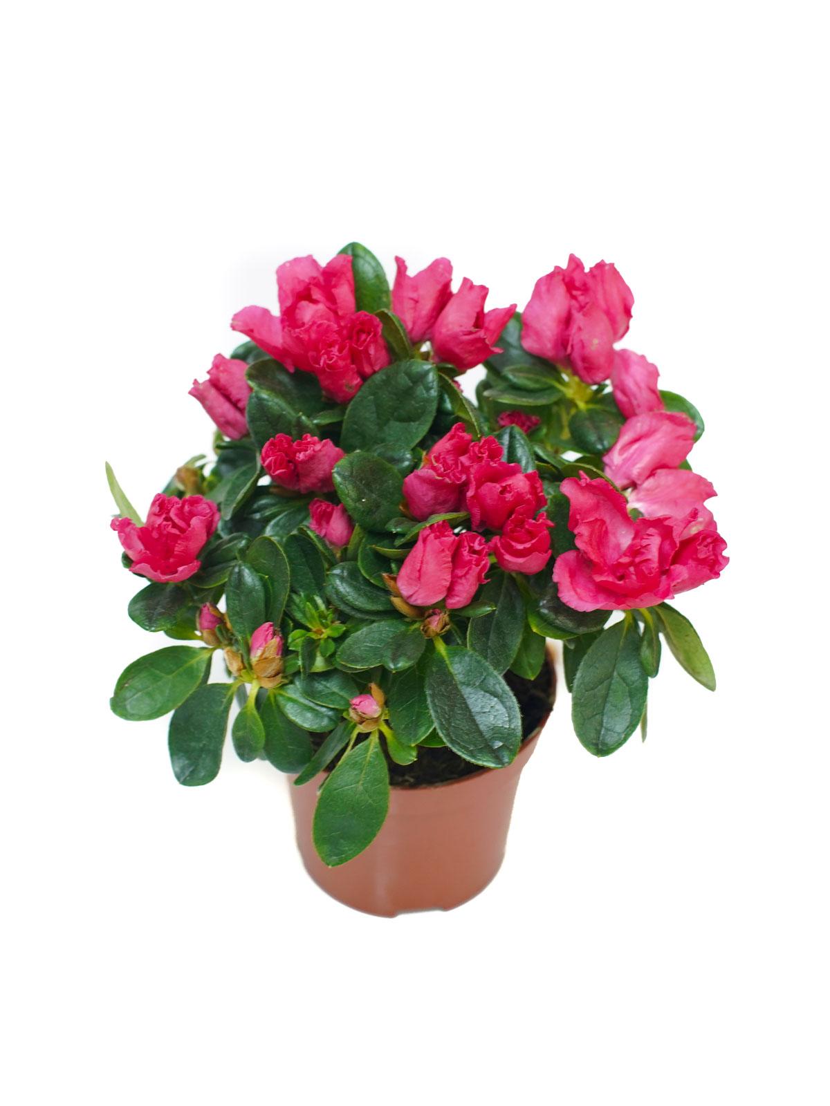 Azalea Pink Indoor Plants Flowering Plants