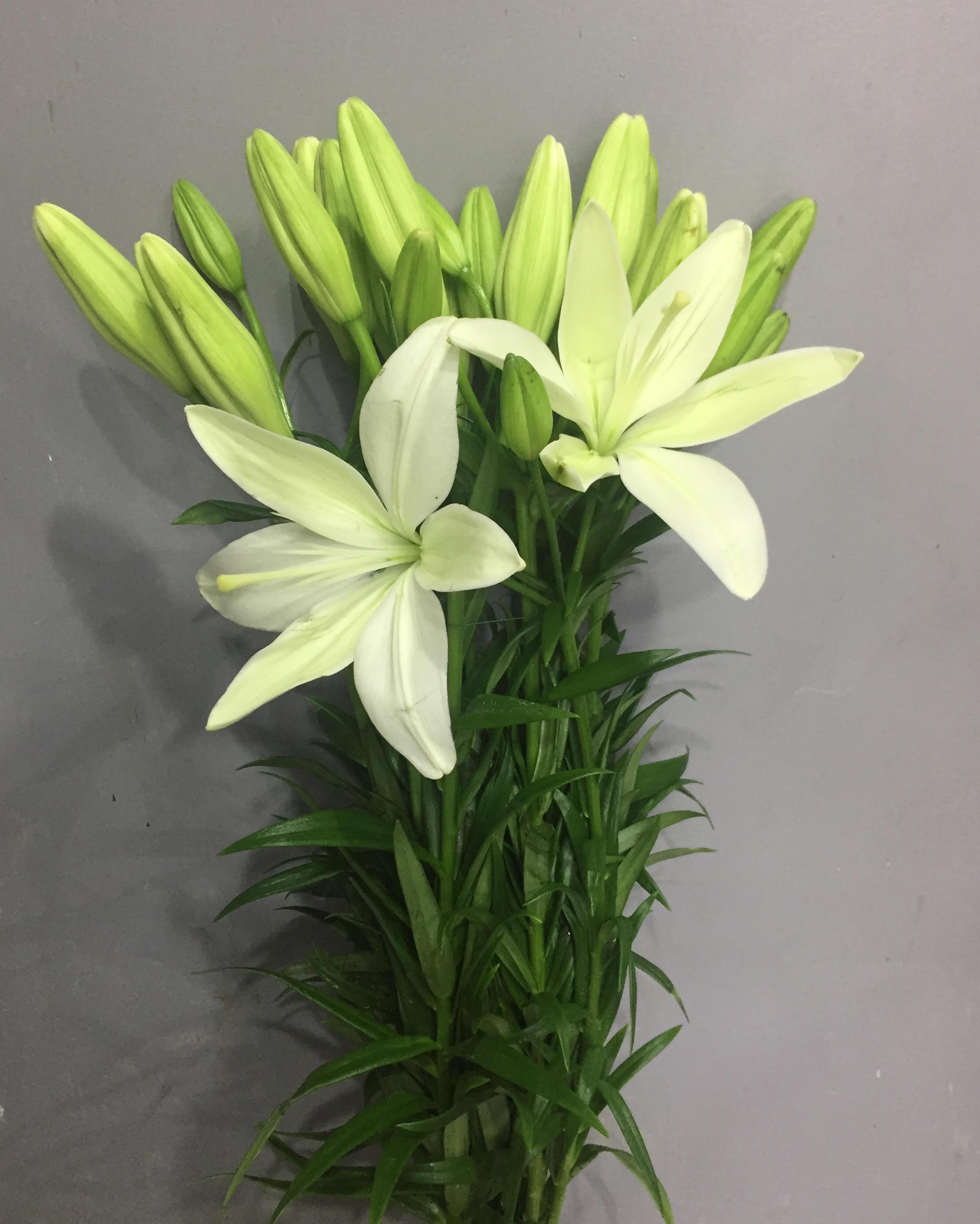 ليليوم أبيض  الزهور بالجملة زهور مقطوفة