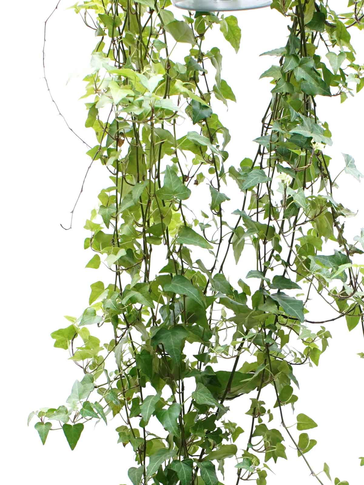 Hedera Helix Anna Indoor Plants Hanging