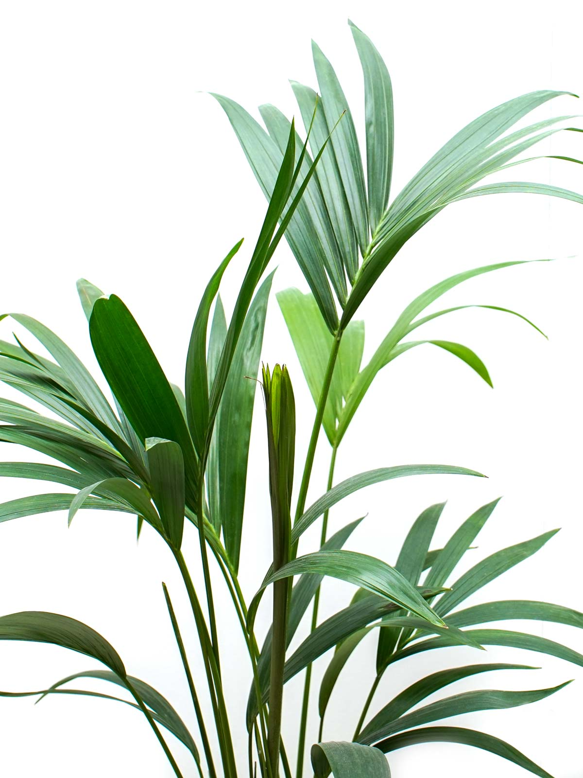 هوويا فورستريانا (كنتيا) نباتات داخلية أشجار