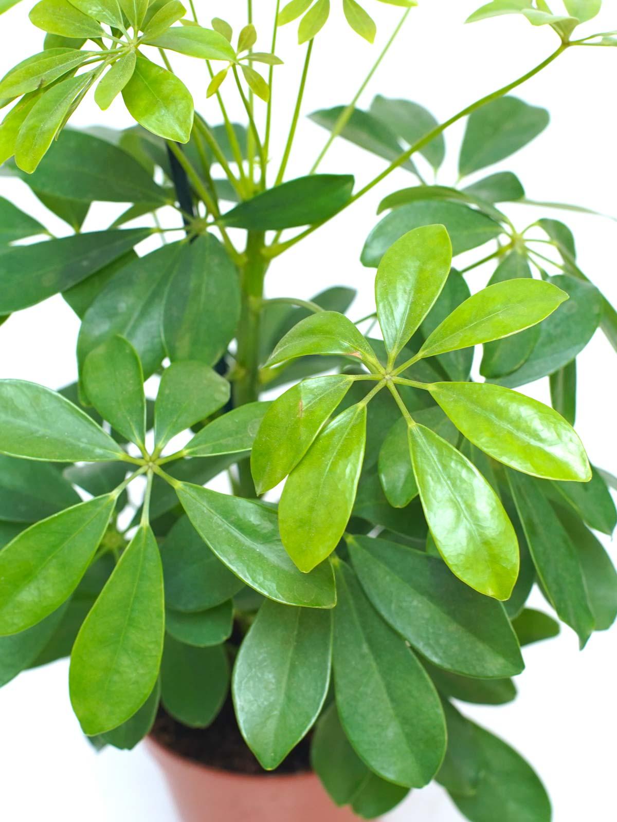شيفليرا نورا نباتات داخلية نباتات مائية