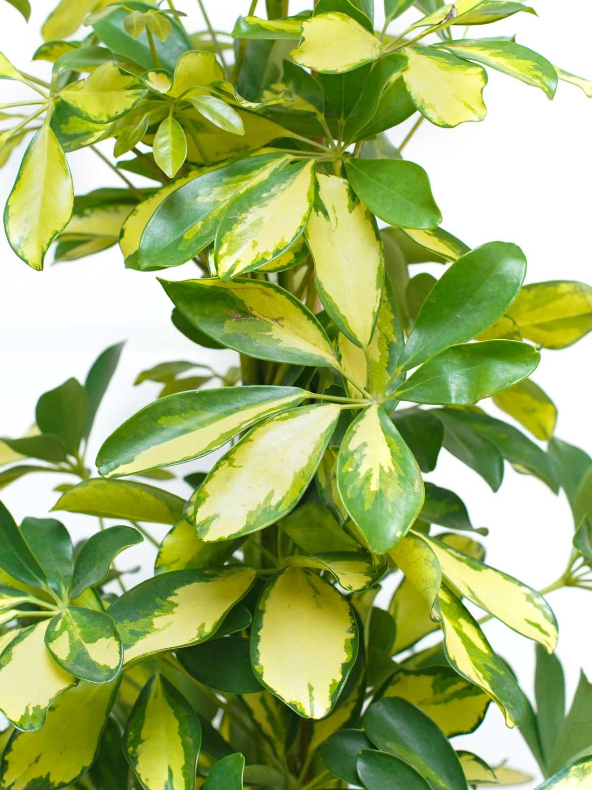 شيفليرا ذهبي نباتات داخلية نباتات مائية