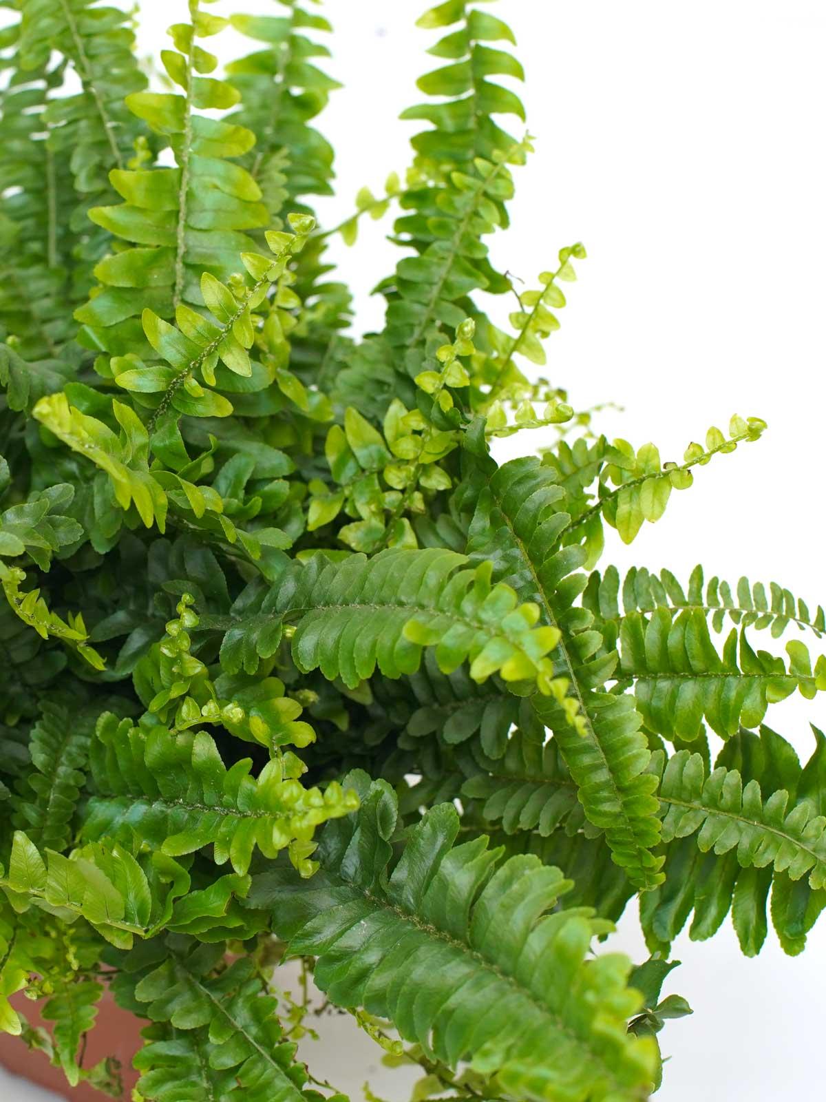 Nephrolepis Exaltata ALS Indoor Plants Shrubs