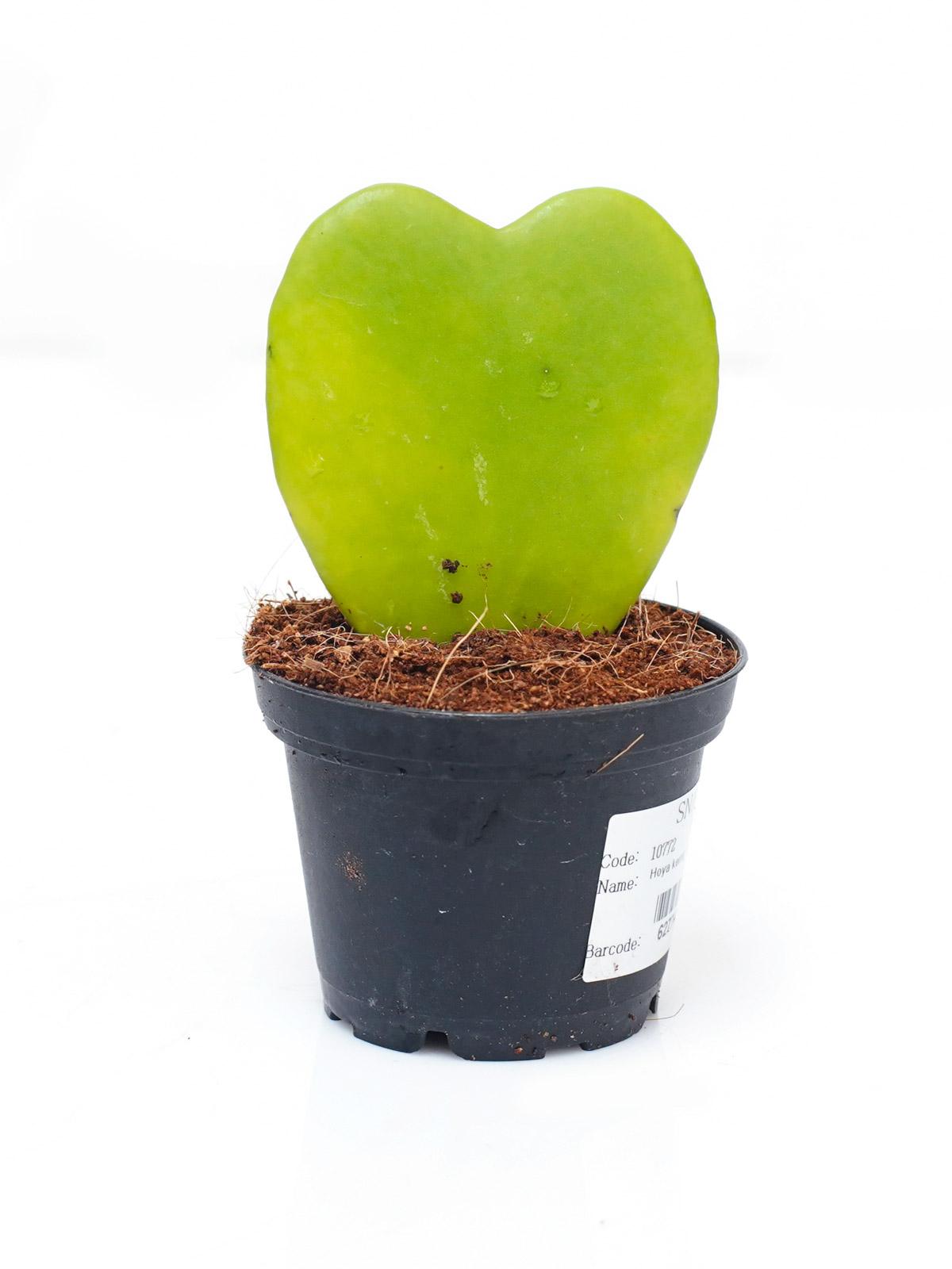 هويا كيري نباتات داخلية عصاري