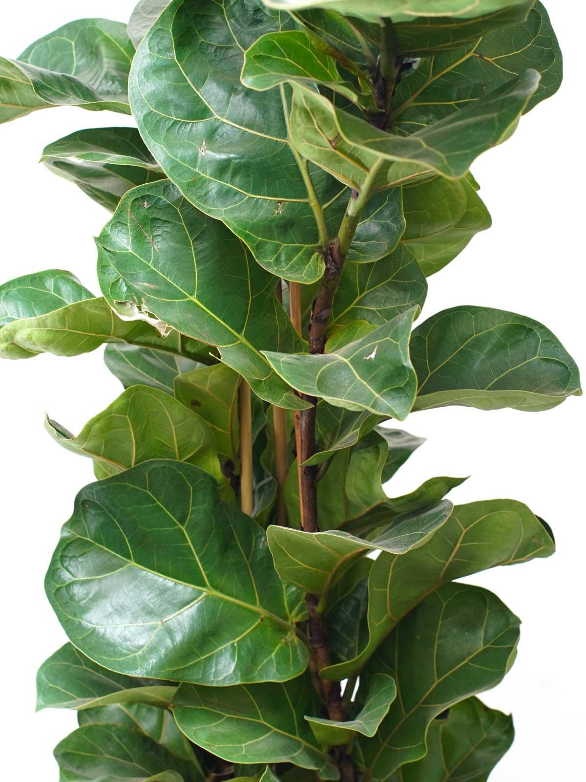 فايكس ليراتا  نباتات داخلية أشجار
