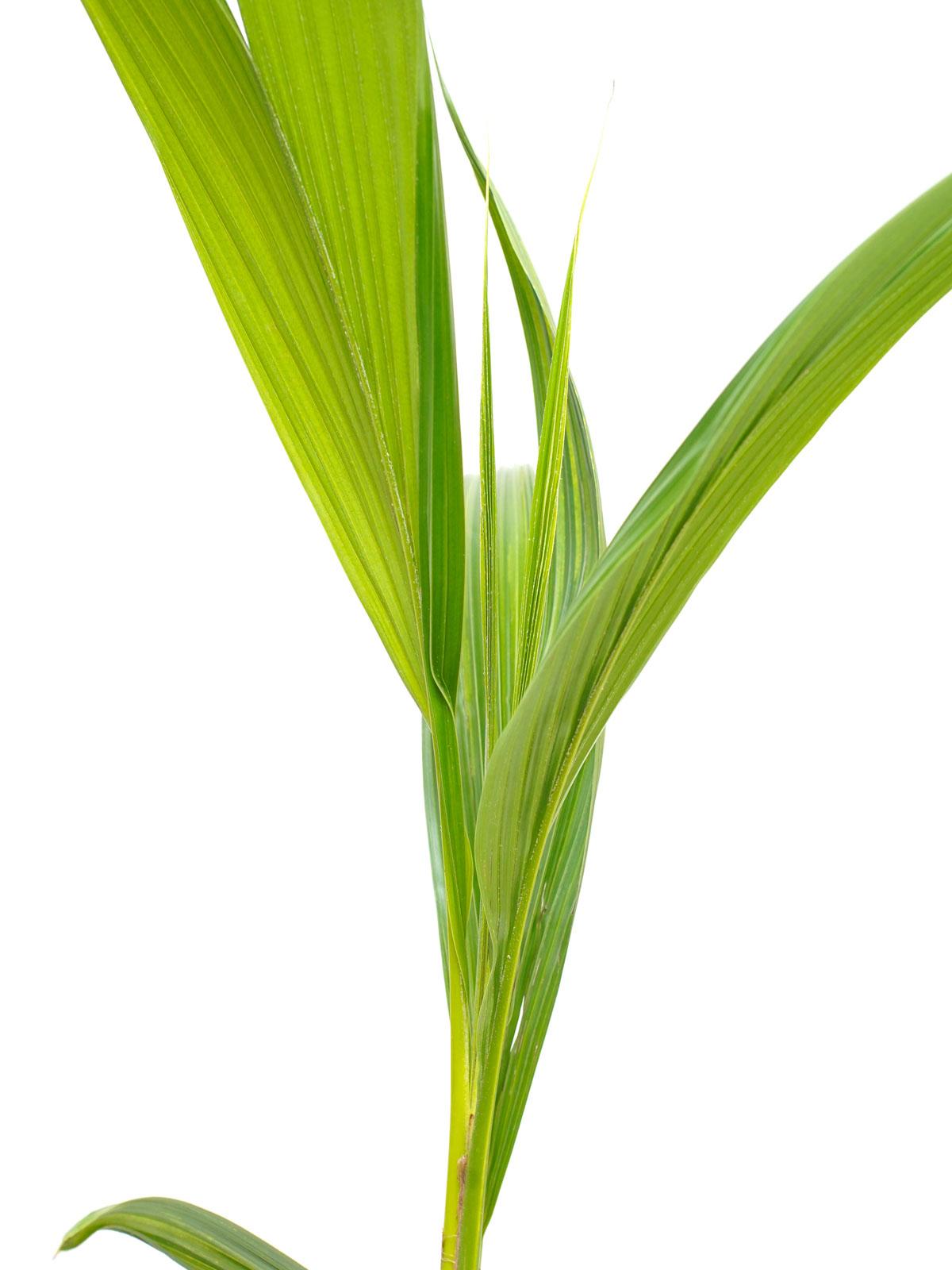 نخيل كوكوس نوسيفيرا نباتات داخلية أشجار