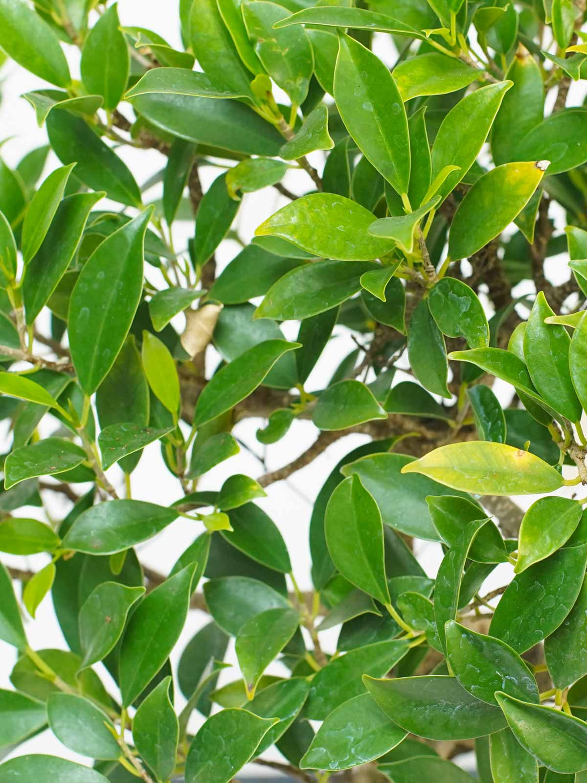 بونساي نباتات داخلية أشجار