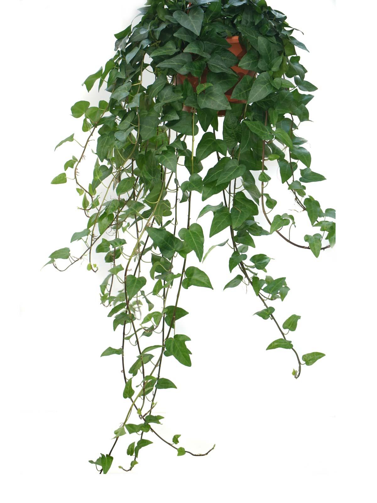 هديرا هيليكس المعلقة نباتات داخلية معلقة