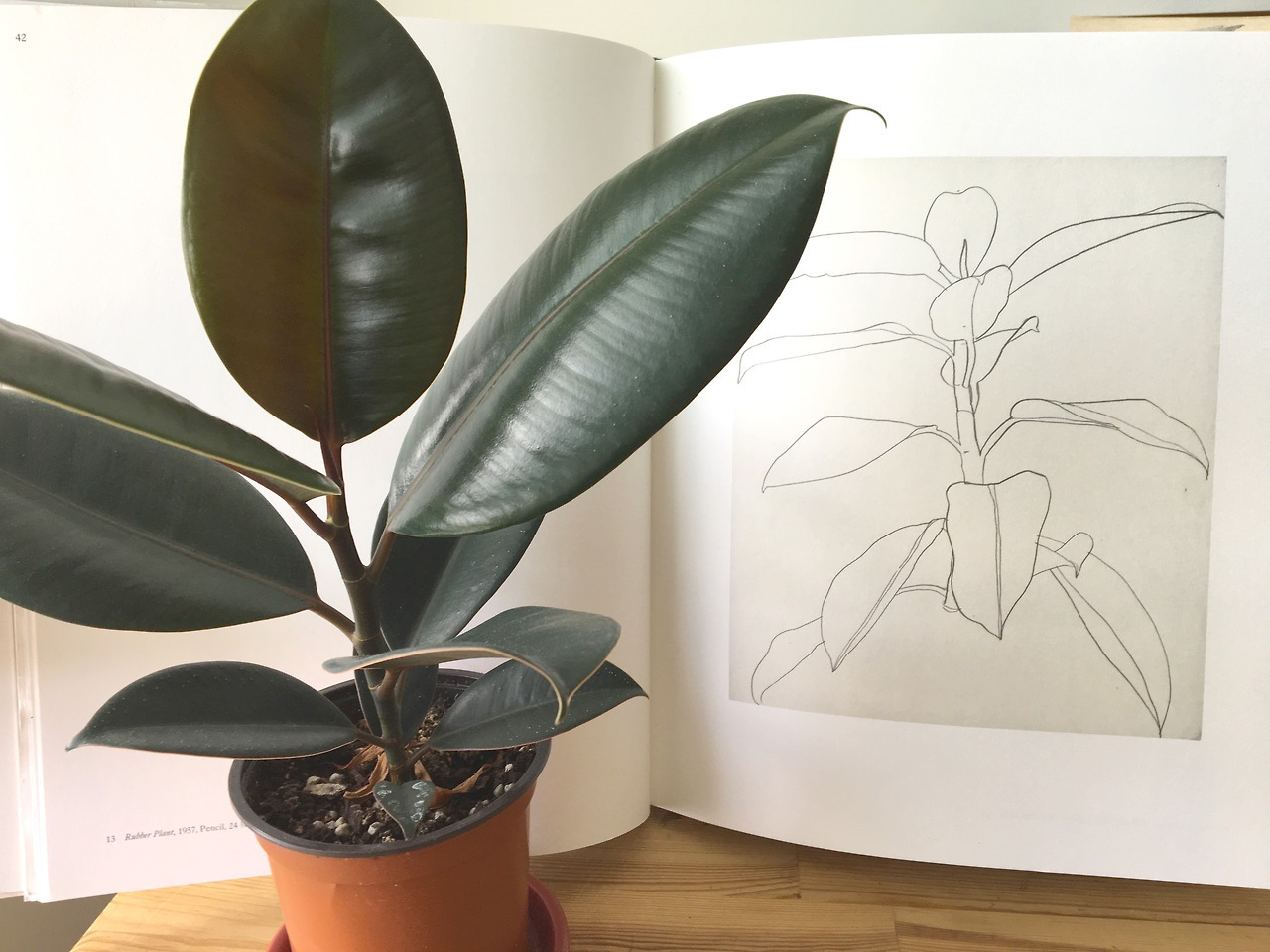 Ficus Robusta Indoor Plants Trees