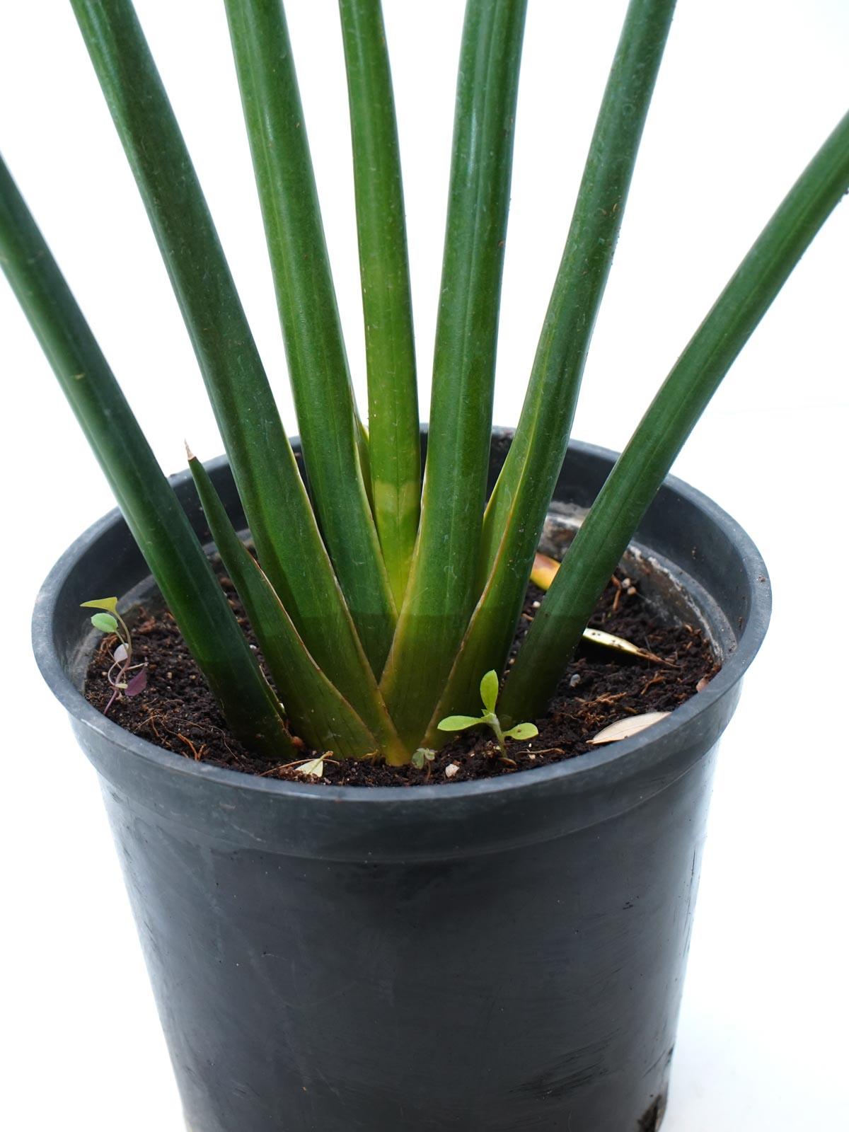 سانسيفيريا سيليندريكا 'نباتات داخلية عصاري