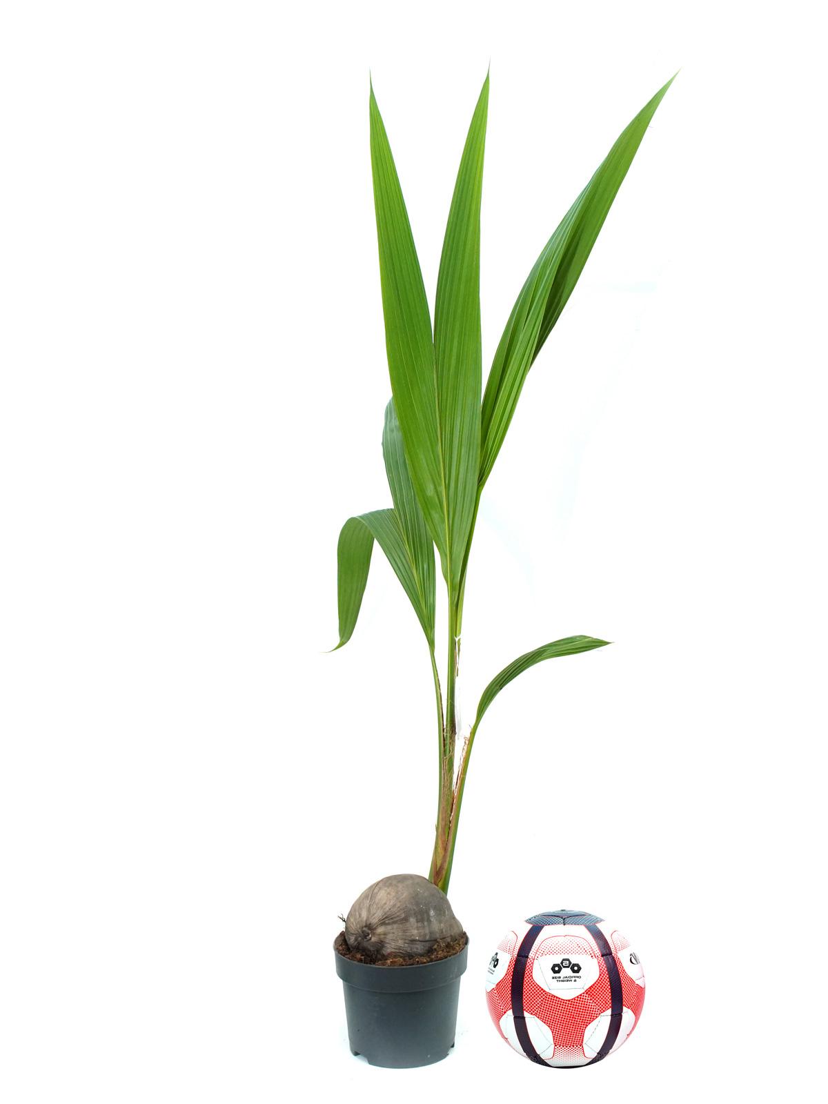Cocos Nucifera 'Indoor Plants Trees