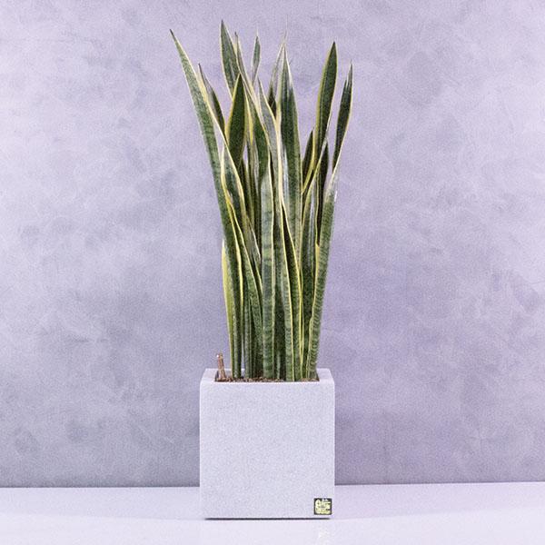سانسفيريا في وعاء مربع التشكيلة الفخمة نباتات داخلية