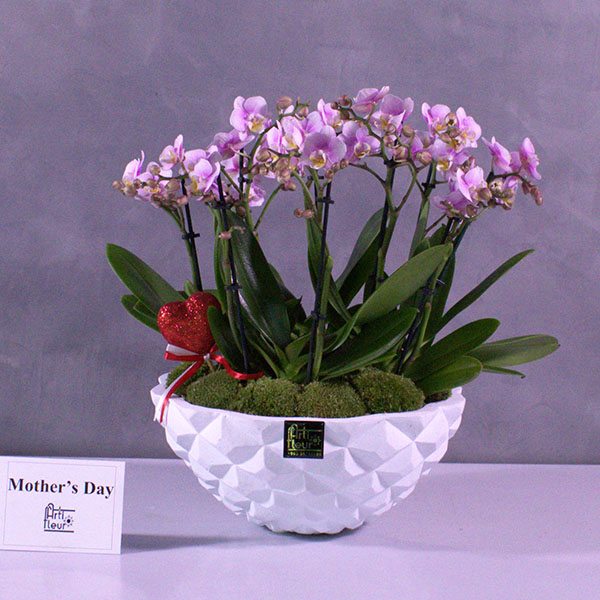Mini Pink Orchids 'Premium Collection Flowering Plants