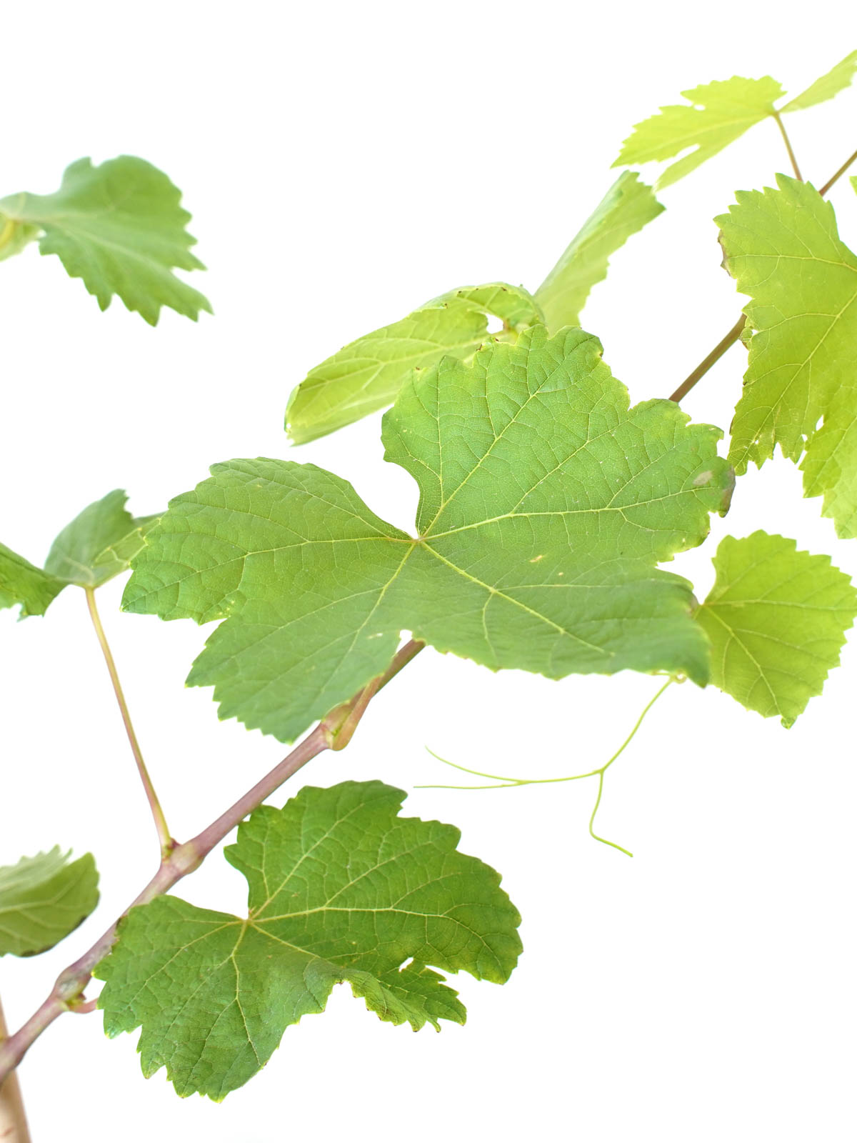 Grapes Anab Outdoor Plants Fruit Plants