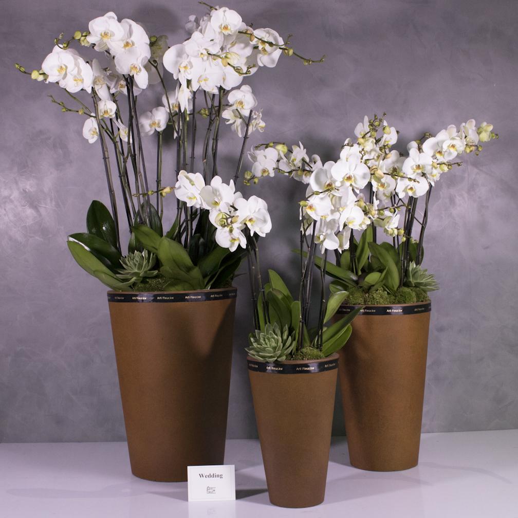 مجموعة أوركيد 'التشكيلة الفخمة نباتات مزهرة