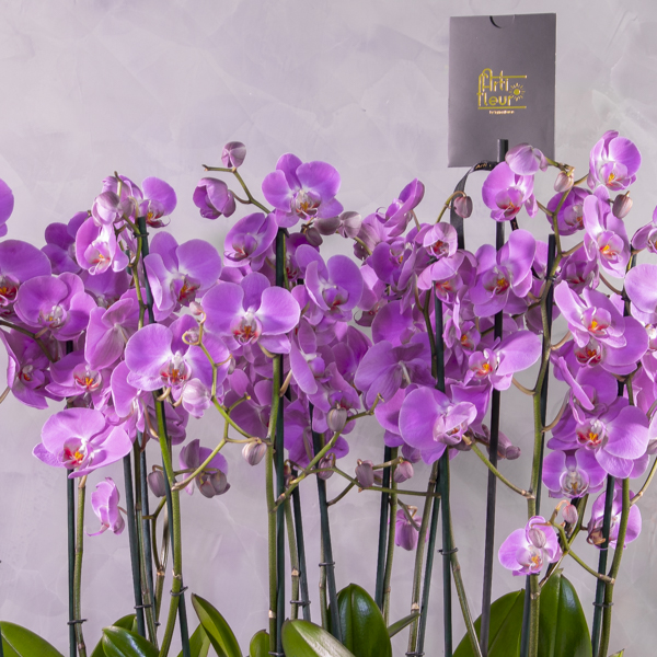 Orchids in capi planter - pink Premium Collection Indoor Plants