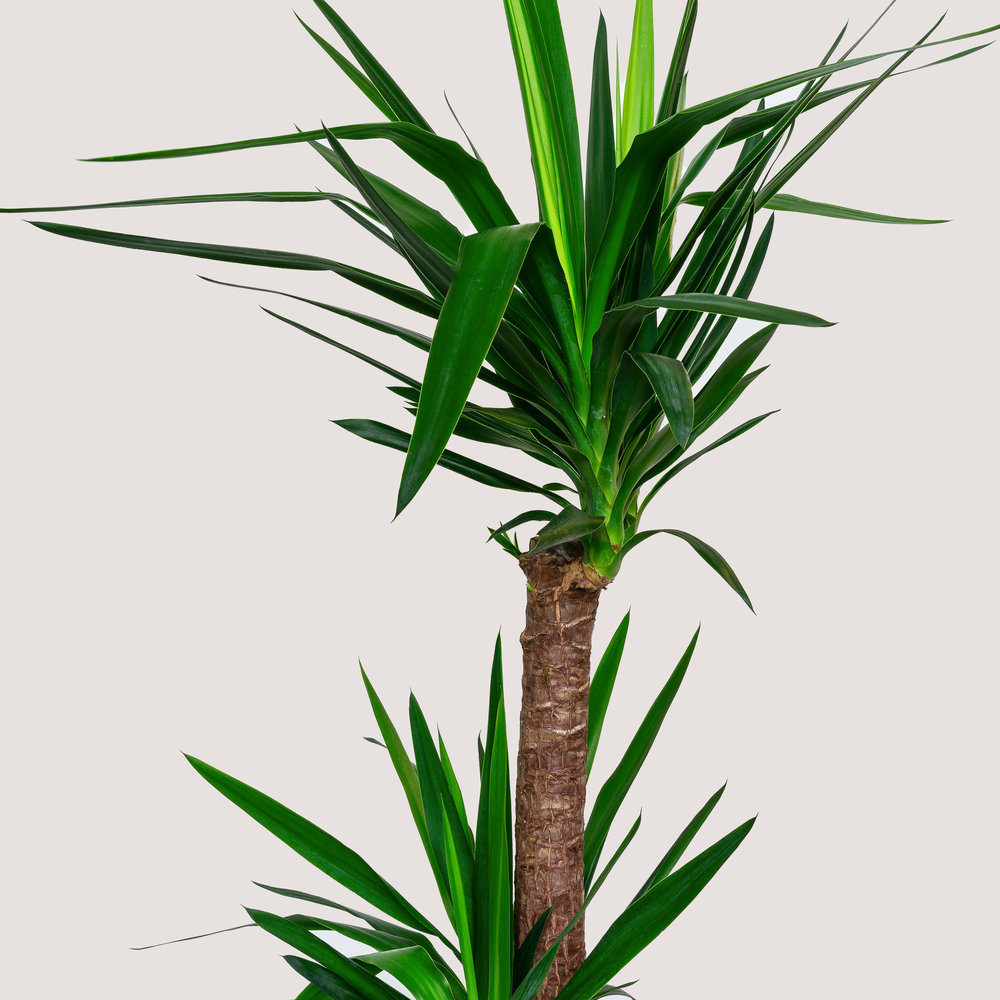 Yucca P25 ALJ 'Indoor Plants Shrubs