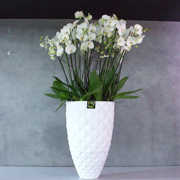 Capi Planter With Orchids 'Premium Collection Office Plants