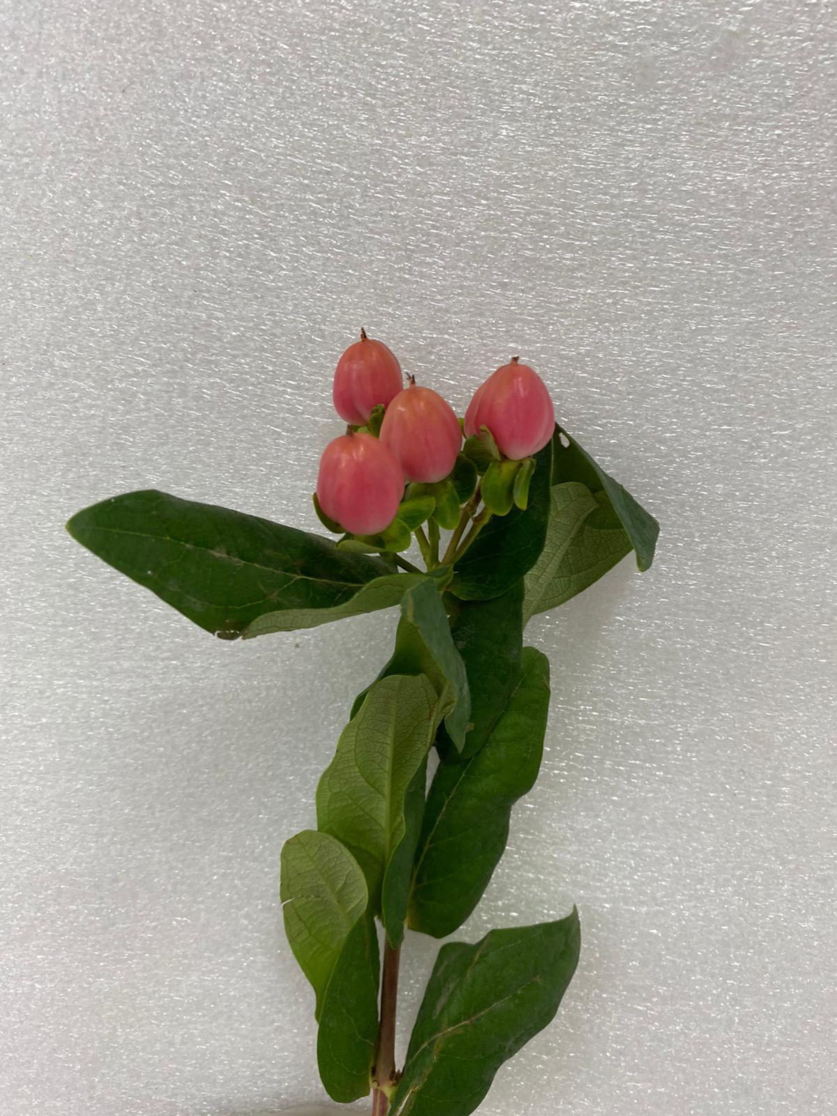 هيبيريكوم - وردي غامق  الزهور بالجملة زهور مقطوفة