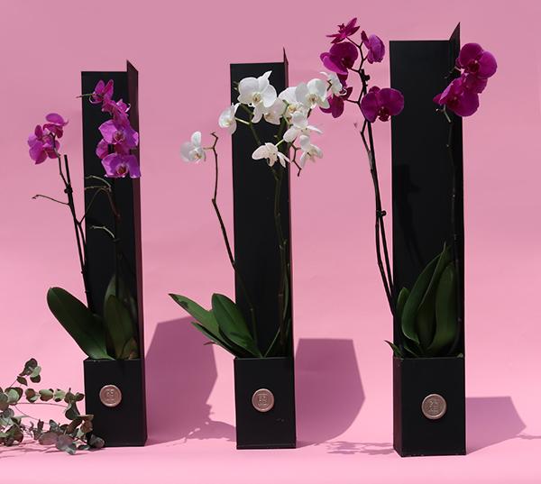 قرو سيقناشر نباتات داخلية النباتات المزهرة