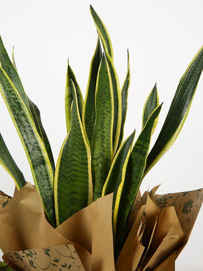 سانسيفيريا 'نباتات داخلية عصاري