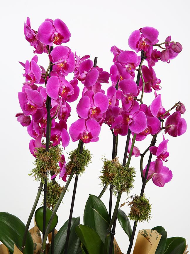 أوركيد بنفسجي 'التشكيلة الفخمة نباتات مزهرة