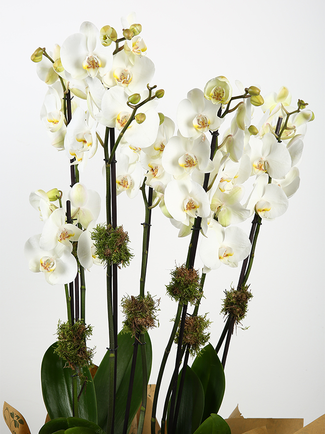 White orchid plant  Indoor Plants Flowering Plants