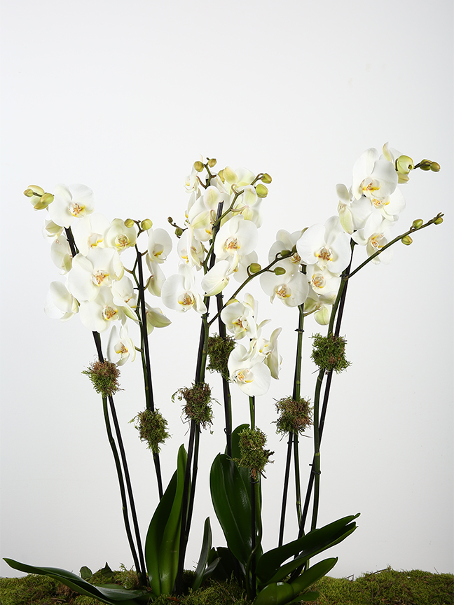 Mirror White Orchids  Premium Collection Flowering Plants