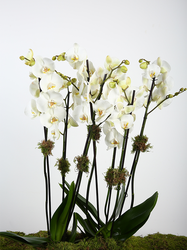 أوركيد أبيض التشكيلة الفخمة نباتات مزهرة