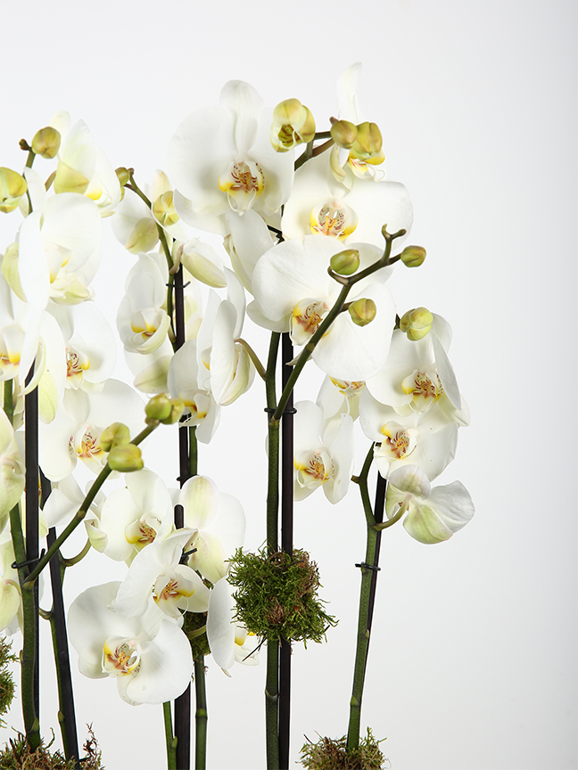 Faces White orchid  Premium Collection Flowering Plants