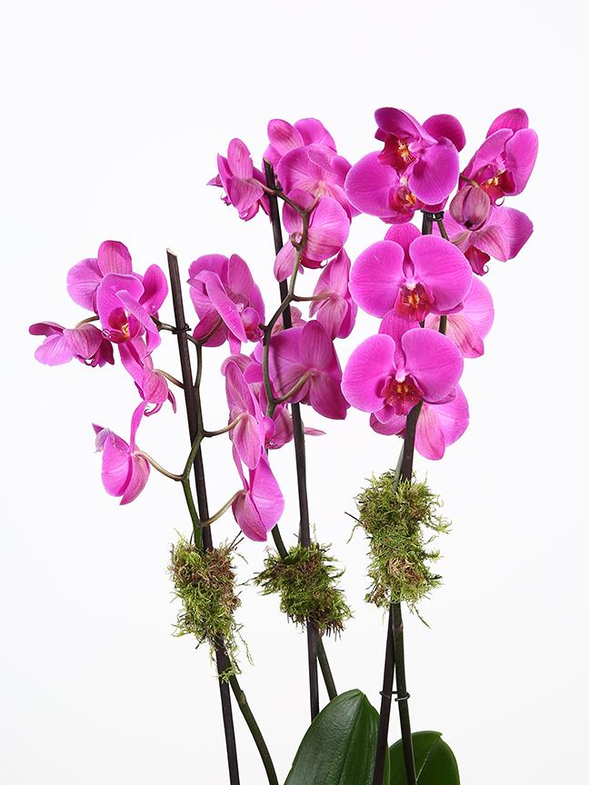 فالاينوبسيس الأوركيد - بنفسجي التشكيلة الفخمة نباتات مزهرة
