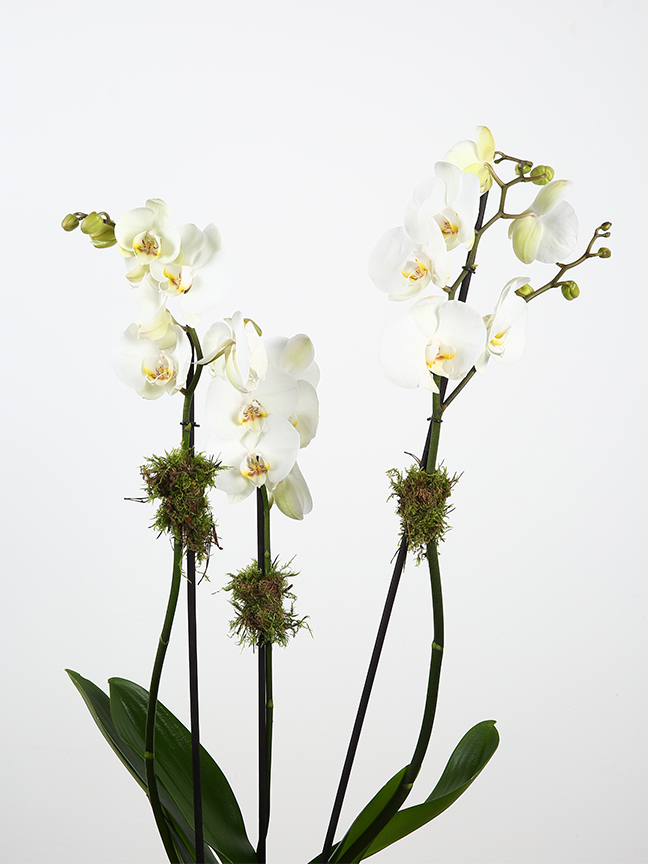 White Phalaenopsis Indoor Plants Flowering Plants