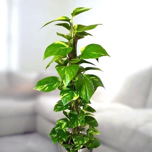 ايبريمنيوم بيناتوم نباتات داخلية شجيرات