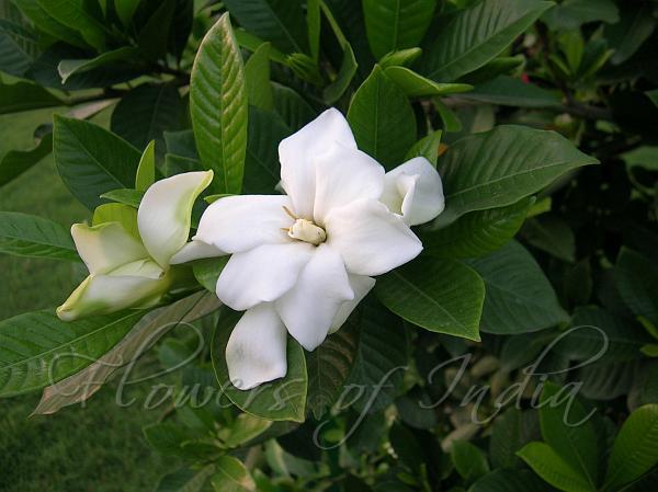 جاردينيا ياسمينويديس 'نباتات داخلية النباتات المزهرة