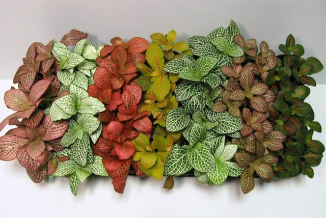 Fittonia Mix Color per piece Indoor Plants Shrubs