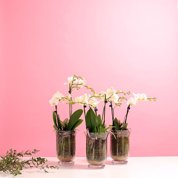 اوركيد - ابيض نباتات داخلية النباتات المزهرة