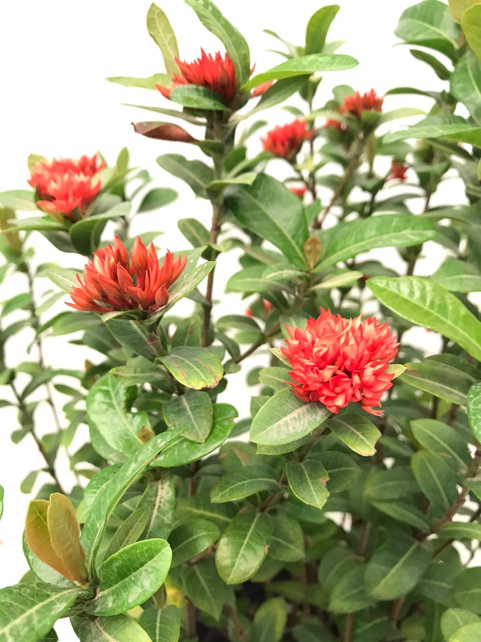 Ixoreae Outdoor Plants Flowering Plants