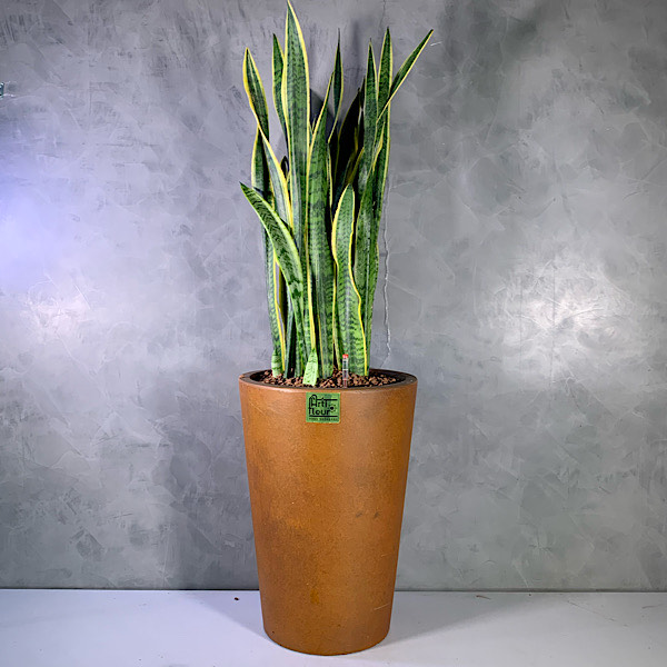 snakeplant brown planter Premium Collection Indoor Plants