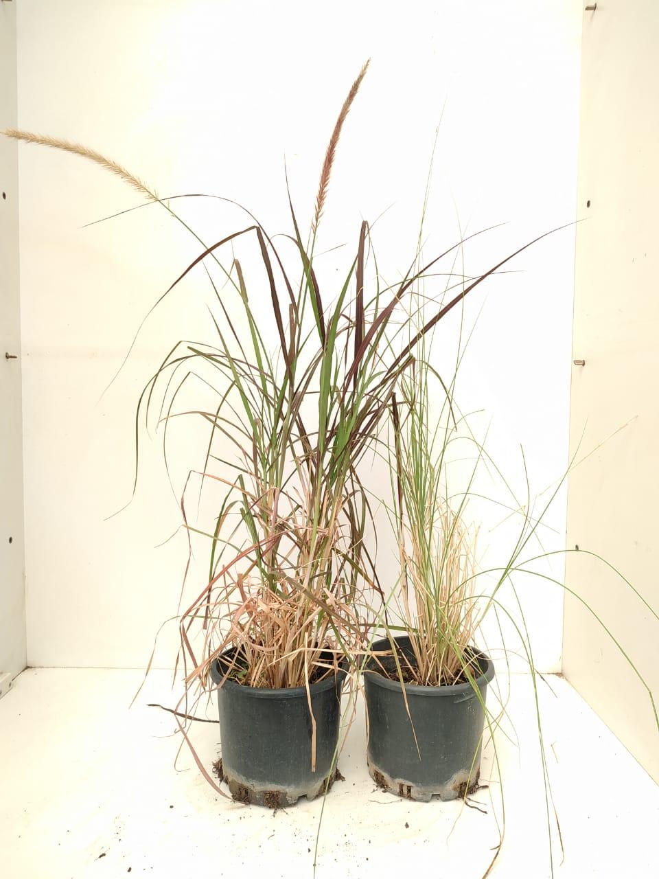 Pennisetum  Outdoor Plants Shrubs